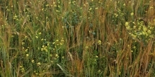 The value of arable weeds