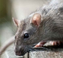 Rat Control for Gamekeepers - Loddington image