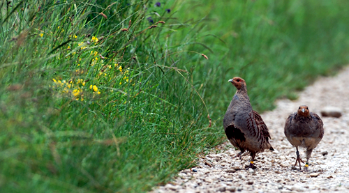 Re-introduced Grey partridge pair with colour-rings for individual identification. Photo by Markus Jenny.
