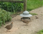 A breakfast encounter with a grey partridge pair