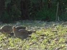 Grey partridge stepfather steps up