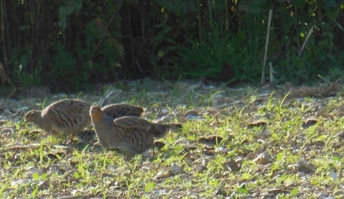 A pair of grey partridges with their three day old chicks, foraging on a re-drilled wildbird mix along a third-year mix