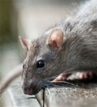 Rat control courses at Loddington
