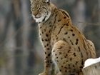 Should lynx be reintroduced in England and Scotland?