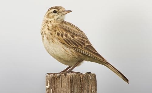 Skylark facts, song, habitat, food, nesting - Game and Wildlife ...
