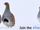Can you help our grey partridge?