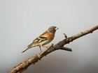 Ramblings on Bramblings!