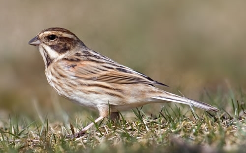 Reed Bunting Facts Song Habitat Food Nesting Game And Wildlife Conservation Trust