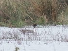Wintering waterfowl and waders in the Avon Valley