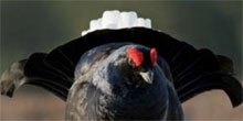 Black grouse fence collisions and marking