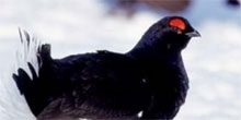 Creating woodlands for black grouse