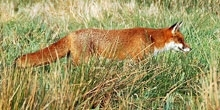 Fox snaring guidelines