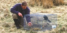 Larsen trap use in Scotland