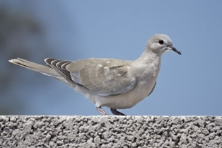 Collared _Dove 500