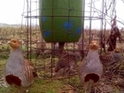 5 tips for successful gamebird & songbird feeding