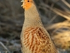 5 tips for successful Grey partridge re-introduction