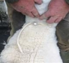 Why sheep should wear dog collars