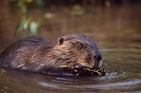 Beavers must be manageable: our letter to The Courier