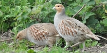 Case study: Grey partridge recovery