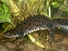 New great crested newt protection proposals - let us know your views