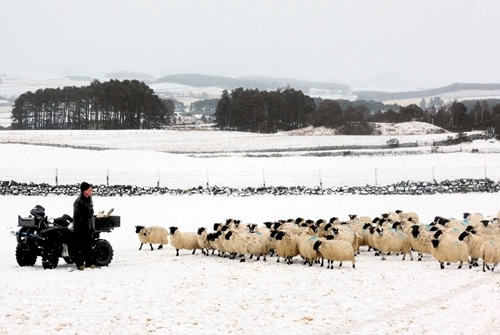 Allan Wright with sheep in snow