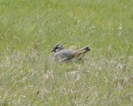 A Female Lapwing Incubating Her Nest