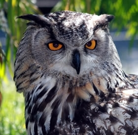 Eagle owls – are they making a comeback in Britain? - Game and