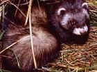 New report highlights increase in polecat range