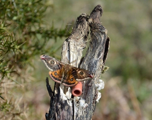 Male emperor moth and phial
