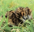 Relief as lapwing hatch in the Avon Valley