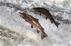 Fishy events in Southampton will support our salmon