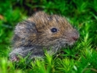 Where have the voles gone?