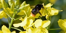 Examining the benefits of flower seed mixes to solitary bees