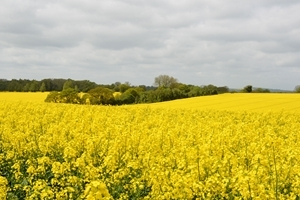 A field of oilseed rape