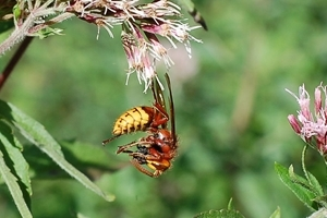 Hornet eating prey