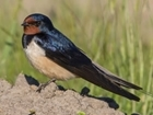 New barn swallow study – foraging in an arable landscape
