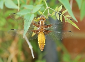 Broad-bodied chaser immature male