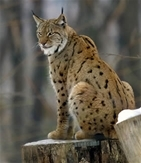 Our view on the proposed reintroduction of lynx