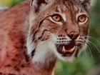 No escaping the lynx reintroduction debate