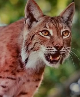 Lynx Reintroduction