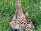 How your support is helping the curlew