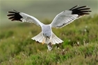 Hen Harrier Plan going ahead without RSPB: our letter to The Guardian