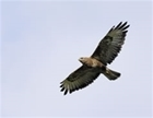 Buzzard control licence: our letter to The Guardian