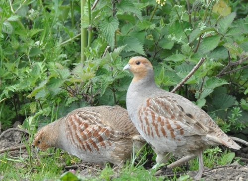 GWCT Grey Partridge Photo - Credit Peter Thompson