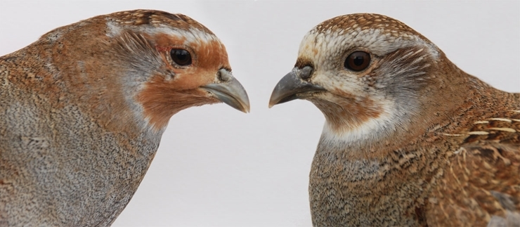 Adult female in winter plumage and juvenile female