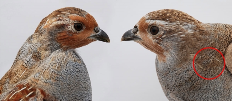 Juvenile male and juvenile female