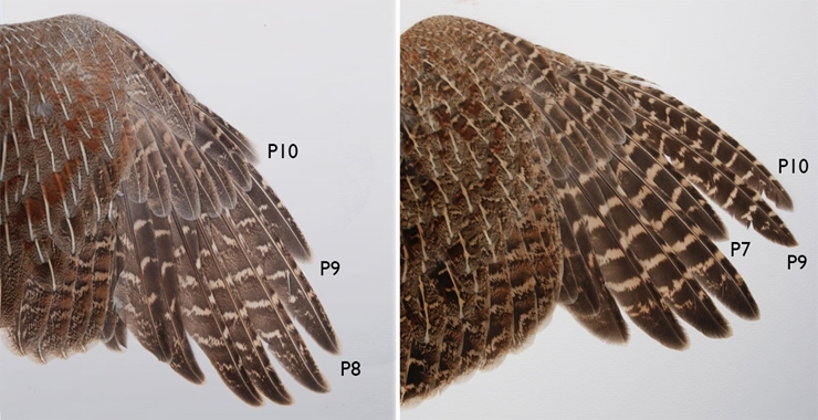 Adult and juvenile wing comparison