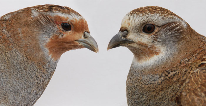 How to sex and age grey partridges