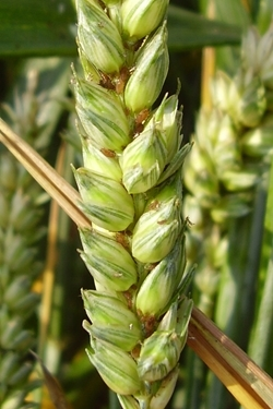 Aphids on cereals
