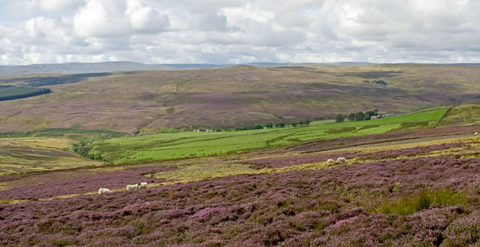 Grouse Shooting & Moorland Management